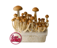 View Magic Mushroom (Paddo) Kweeksets